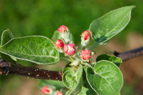 An apple tree flowers
