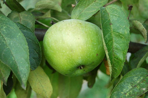 Green apple on an apple tree branch